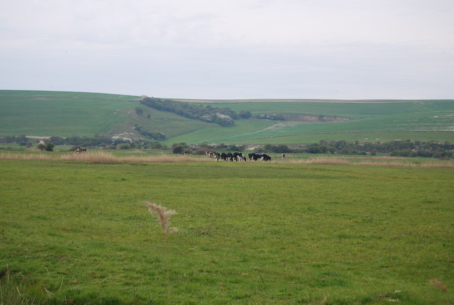 Cattle in the Cuckmere valley