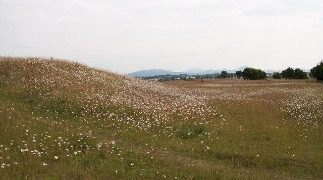 Wild flowers on open land near Pwllheli Harbour