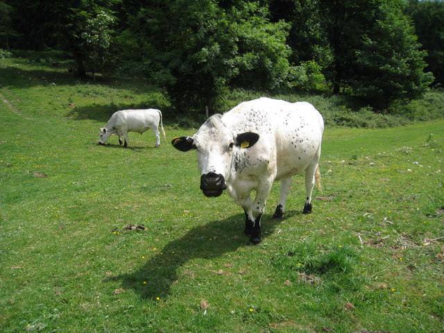 Cows at Friston Forest