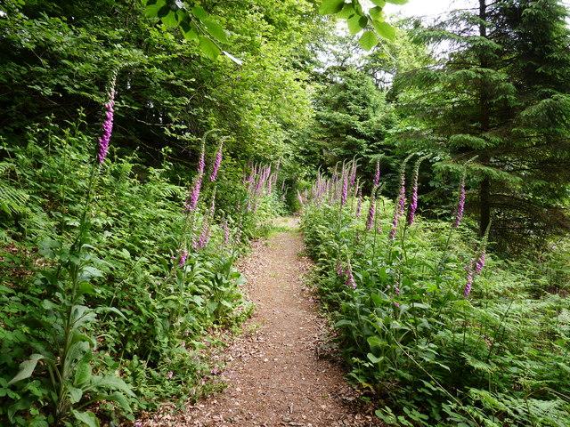 Foxgloves in Chapel Woods