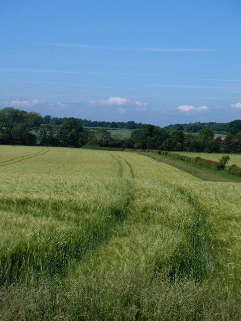 Ripening barley, North Kilvington