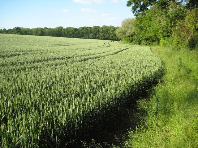 Wheat field near Newland