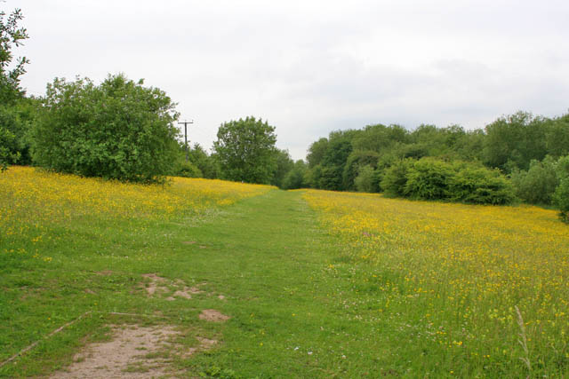 Footpath through the buttercups