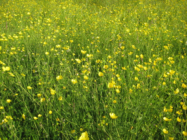 Buttercups at Lower Howsell