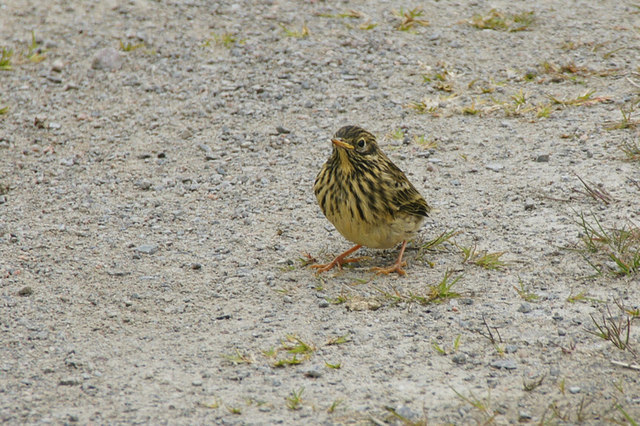 Recently fledged Meadow Pipit (Anthus pratensis), Sandy Loch