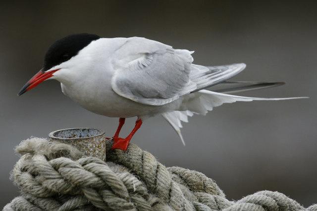 Common Tern (Sterna hirundo), Lerwick