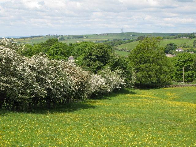 Blossom and buttercups near Shilburn