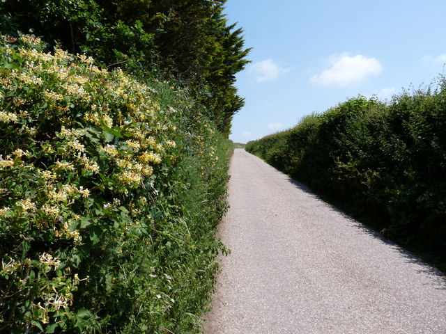 Honeysuckle in the hedgerow on Down Lane