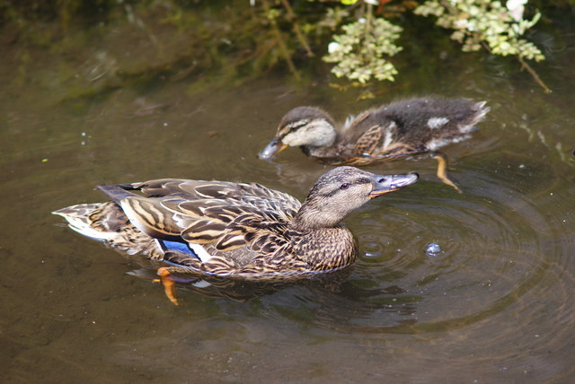Ducks on Abbey Water, Romsey, Hampshire