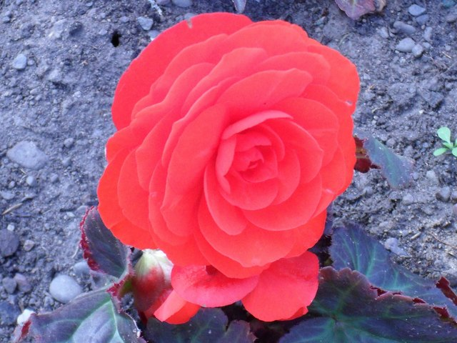 A Begonia in the Henderson Park at Coldstream