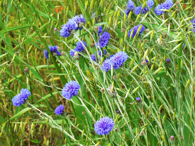 Cornflowers and oats, Westmill Wind Farm, Watchfield
