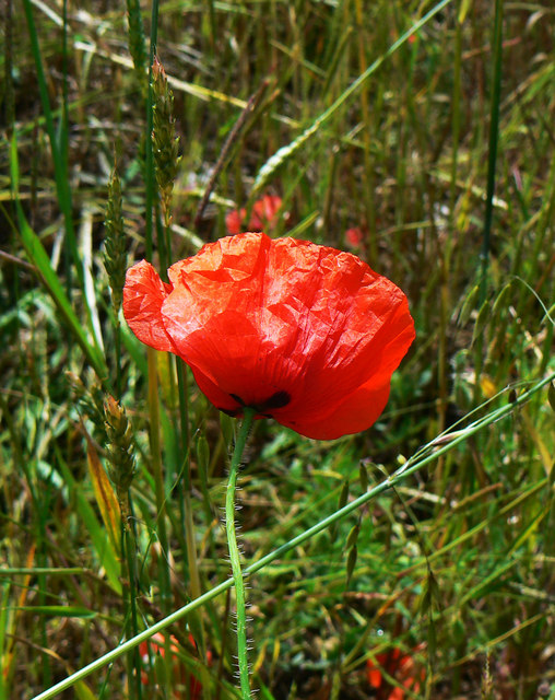Poppy, Westmill Wind Farm, Watchfield