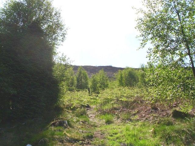 Birch trees in Hutton Lowcross Woods