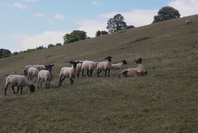 Sheep on Windmill Hill