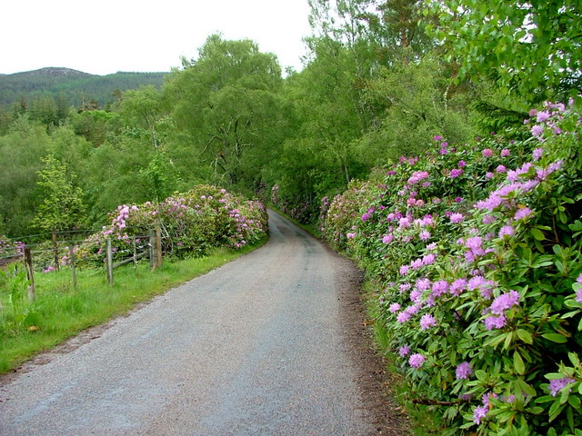Rhododendrons by the roadside at Gaich