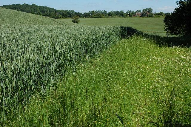 Wheatfields beside Coldcomfort Wood
