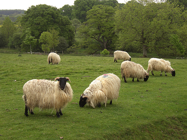 Sheep pasture at the front of Belsay Hall