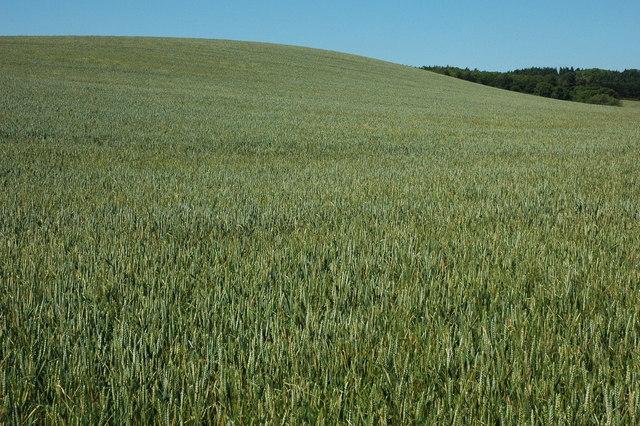 Wheat field beside the Monarch's Way