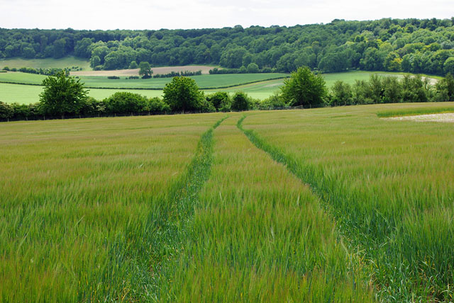 Tractor trail in the barley