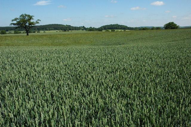 Acres of wheat