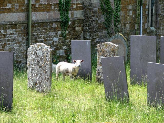 Sheep in Sproxton churchyard