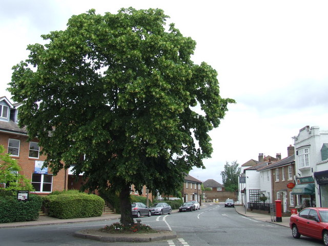 Tree in Thames Ditton High Street