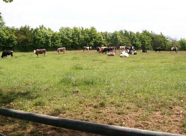Cattle near Rhyllech