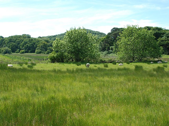Sheep at Carsaig