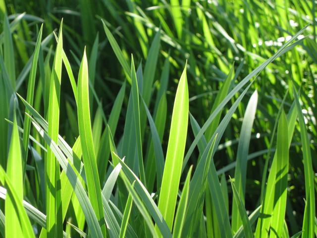 Reed Sweet Grass, detail