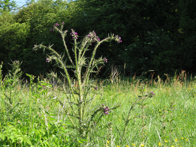 Marsh Thistle (Cirsium palustre)