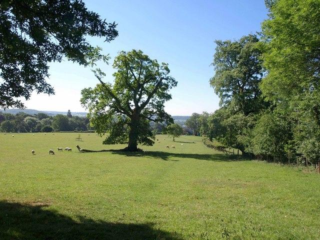 Oak near Milton Lodge