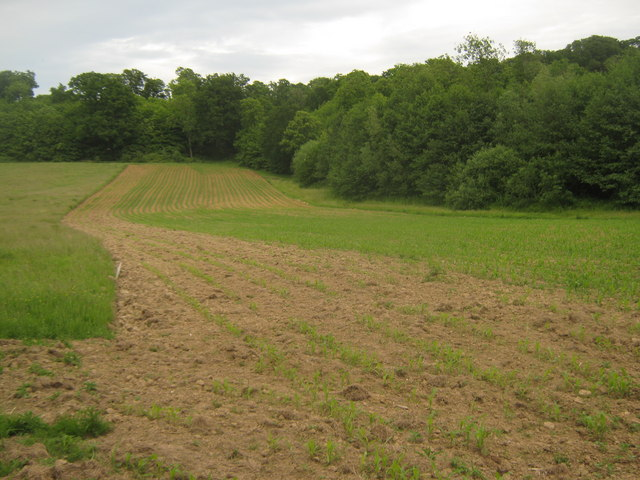 New Maize field near Coneyboro' Wood