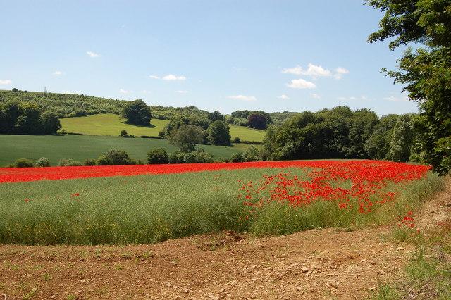 Poppy field near Coberley