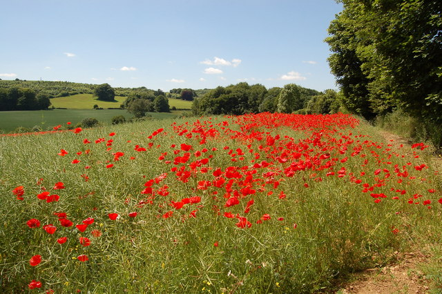 Field of poppies adjoining A436 near Coberley