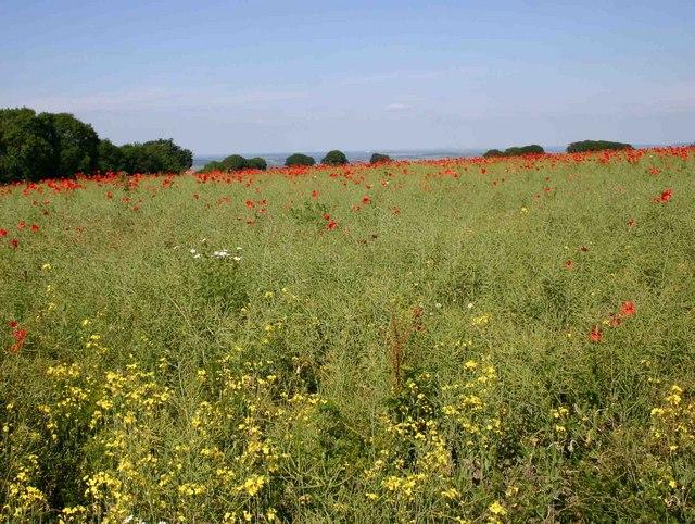 Oilseed rape and poppies