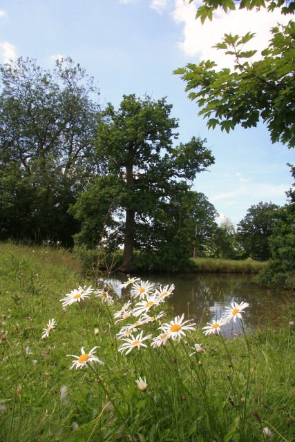 Ox-eye daisies by the fish pond
