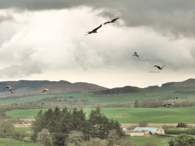 Red kites in the sky over Bellymack farm