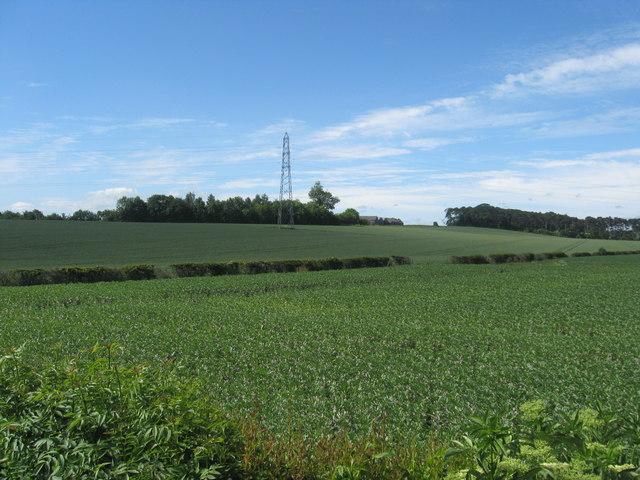 Turnip field at Whitrig