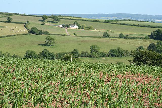 Uplowman: field of maize
