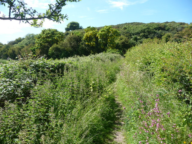 Laburnum trees on the Clwydian Way footpath near Gwaenysgor