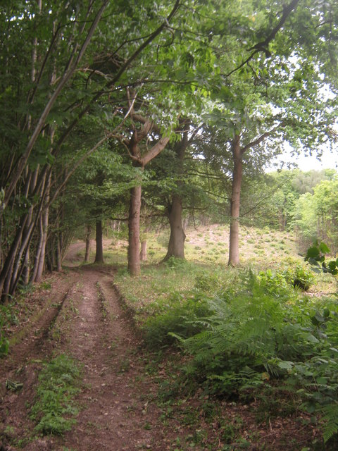 Coppicing track in Capel Wood