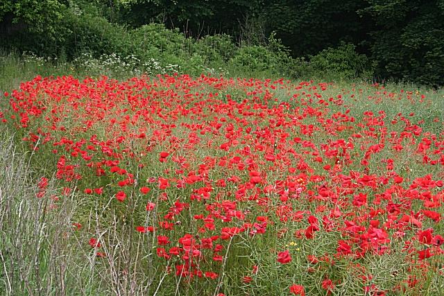 Poppies near Aberdour