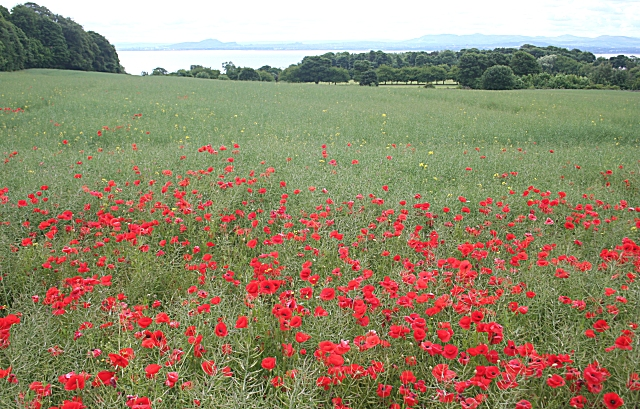 Poppy Field at Aberdour