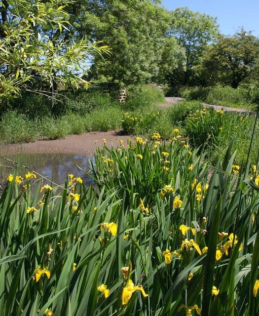 Iris at Priddy Pool