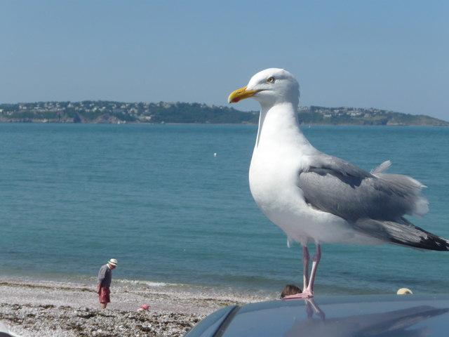 Brixham : Seagull