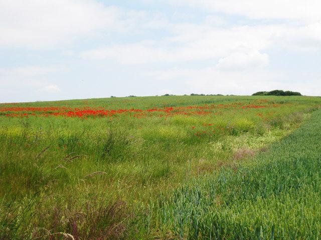Poppy Field near Starkeys