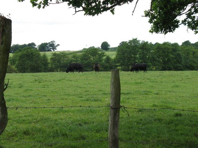 Cattle at Bradfords Farm