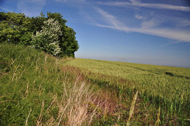 Barley field and hedge line