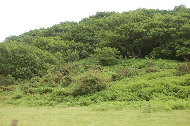 East end of wood on slope of Ffridd Bryn Glas