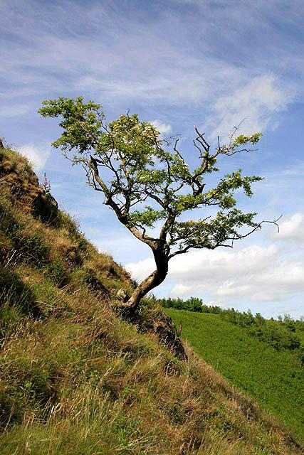 A hawthorn tree on Shaw Craigs